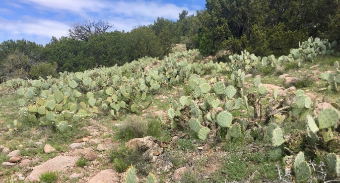 The prickly pear were holding a convention when I passed through.