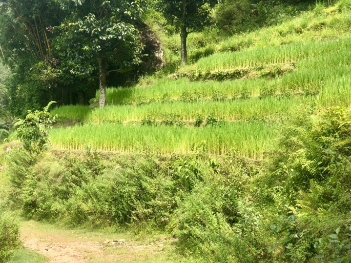 Rice grows in paddies on terraced fields in the lower elevations