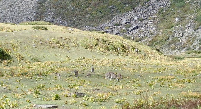 "Mountain goats graze on some of Nepal's rare ""flat"" land"