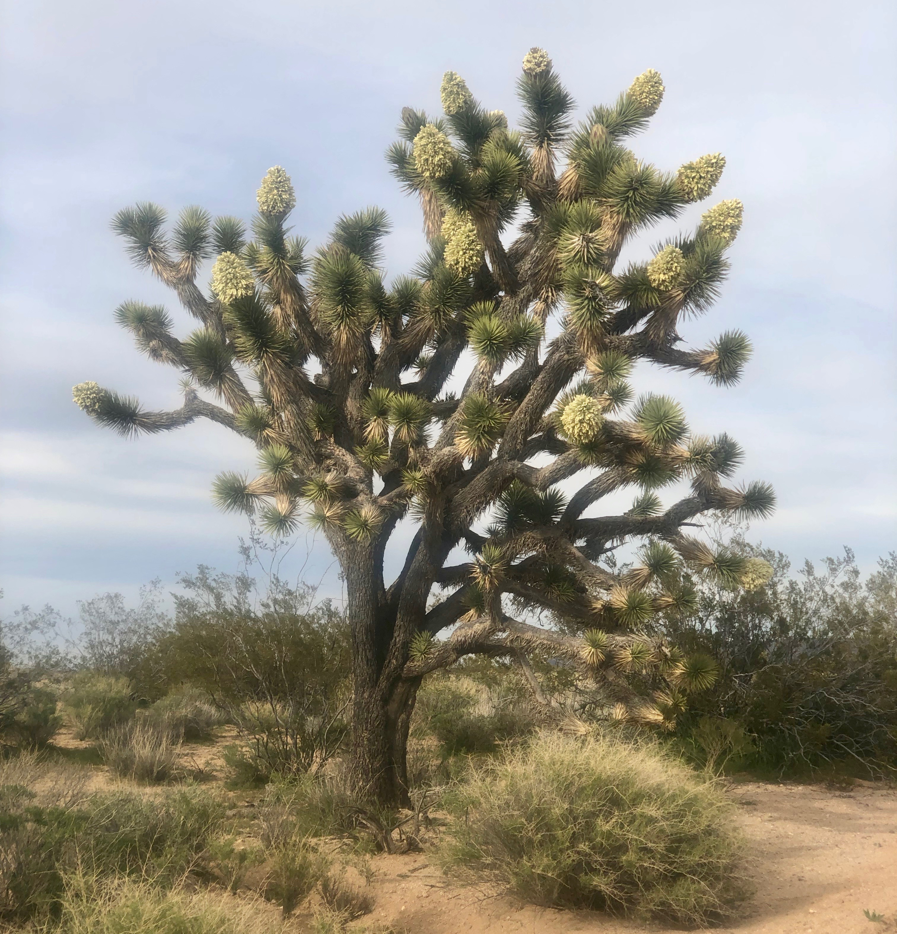 Some of the Joshua trees were in  bloom.
