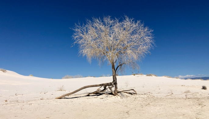 I was thrilled to see the famous White Sands Walking Tree in action